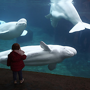 Three Beluga Whales, Juno, Kela and Naluark are viewed by a young visitor at the viewing window at Mystic Aquarium.  Mystic, Connecticut. USA. 3rd December 2015. Photo Tim Clayton