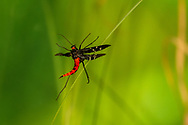 Mourning Scorpionfly (Panorpa lugubris) - female flying<br /> United States: North Carolina: Johnston Co.<br /> Central Crops Research Station off Bus. 70<br /> North Carolina State University; Clayton<br /> 15-Sep-2017<br /> J.C. Abbott #2988