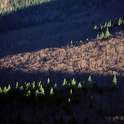 Spruce trees light up in the early sun in NH's Pemigewasset Wilderness. Appalachian Trail.  Zeacliff, NH