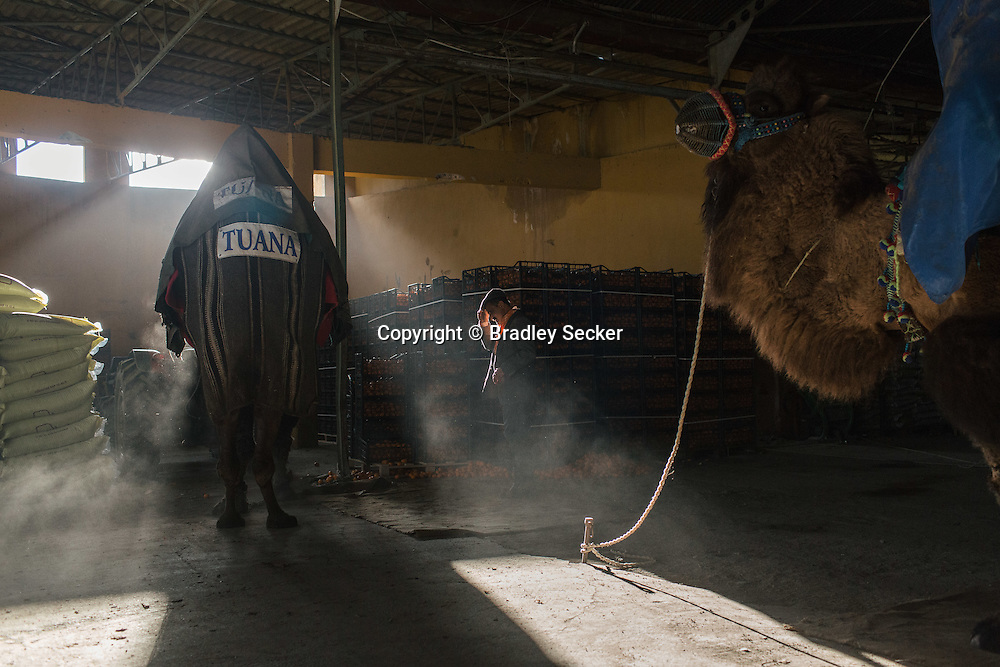 TURKEY, Izmir, Selçuk. Camels are kept in a warehouse used to store farming products after arriving in the town of Selçuk a day before the wrestling event. Owners and trainers take care of their camels, which can cost up to 100,000 Euros