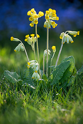 Primula veris - Common cowslip, Cowslip primrose - naturalised in a lawn