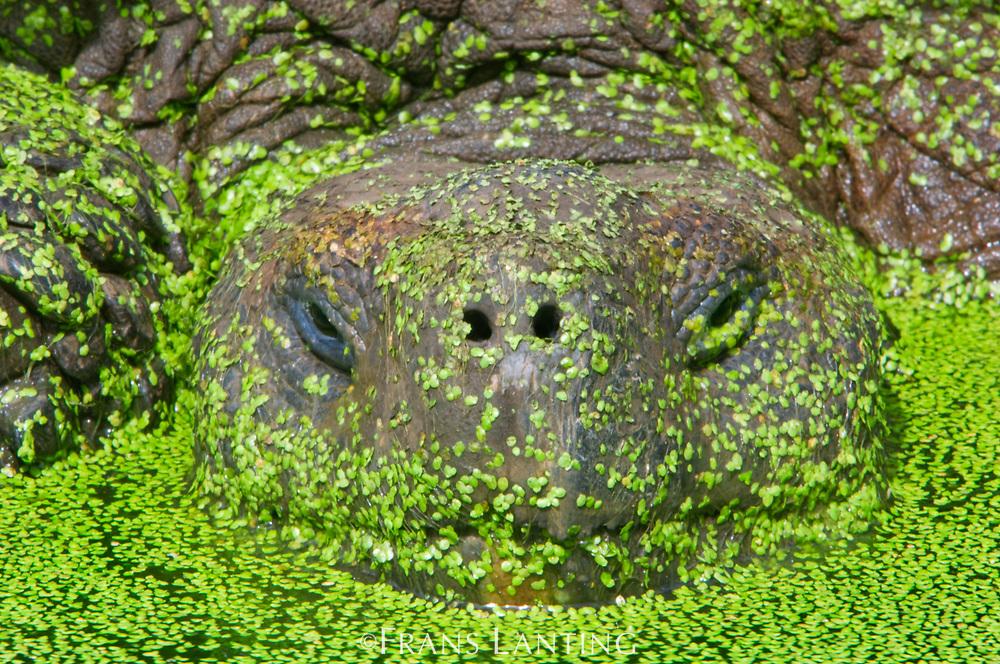 Giant tortoise in pond covered with water plants, Chelonoidis nigra, Santa Cruz Island, Galapagos Islands