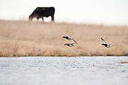 Canvasbacks, Aythya valisineria, McPherson County, South Dakota