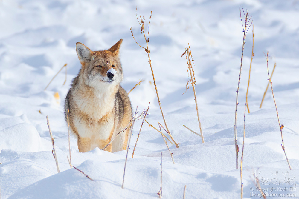 A coyote (Canis latrans) with a snow-covered nose sniffs for food in a field near the Madison River in Yellowstone National Park, Wyoming. The coyote has a highly developed sense of smell and is able to find food by smelling it below the snow.
