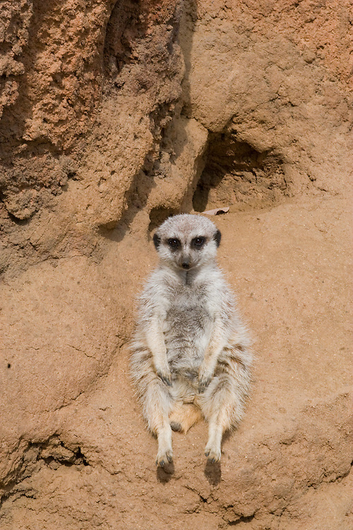 A male meerkat, sitting in his enclosure at the San Francisco Zoo, San Francisco, California.
