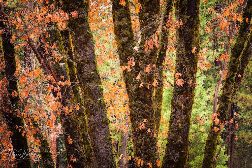 Black oaks in winter, Yosemite Valley, Yosemite National Park, California