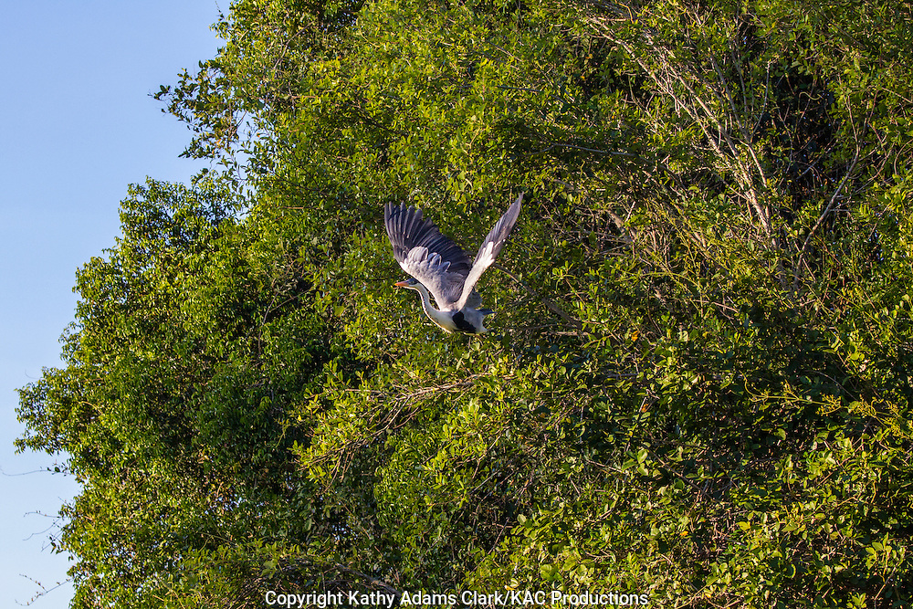 Cocoi Heron; Mato Grosso; Pantanal; White-necked heron, Ardea cocoi; Brazil;