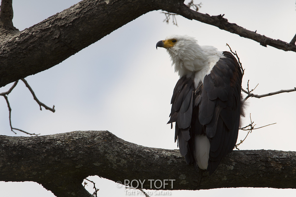 African fish eagle (Hallaeetus vocifer) perched in tree, Duba Plains, Botswana