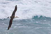 Laysan Albatross over breaking wave, Midway Atoll