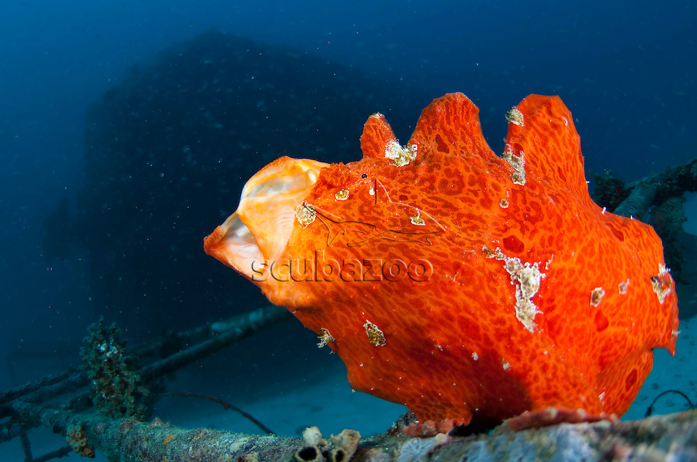 Orange Giant Frogfish, Antennarius commersoni, yawning sequence, The Maldives