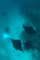 Manta rays congregate in areas where strong currents are funnelled through reefs. These areas concentrate plankton on which mantas feed.  Mantas also congregate at cleaning stations, where small wrasse and butterflyfish clen parasites from the surface of the rays. Tourism is now a major business in the Komodo National Park.  Divers visit the park using liveaboard boats operating out of Bali, or from the port of Labuan Bajo on Lombok.  The Komodo National Park is home to the unique Komodo Dragon, but also has some remarkable marine life.  Cold upwellings from the Indian Ocean to the south bring plenty of nutrients, providing food for a spectacular array of different species.