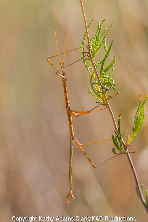 Walking stick; Stick insect; stick-bug; order Phasmatodea; camouflaged in desert plant in Big Bend National Park; Chihuahuan Desert; Texas in summer.