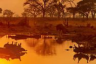Lion and guinea fowl at waterhole, Botswana