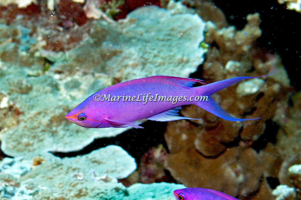 Purple Queen Anthias inhabit reefs. Picture taken Palau.
