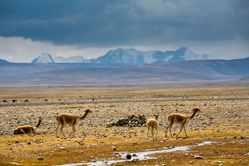 Vicunas (vicugna vicugna) graze and rest in Ulla-Ulla National Park in front of the Apolobamba Range in the Bolivian Andes.  These camelids are wild and protected and have the finest wool in the whole world and were considered regal by the Incas.