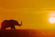 Elephant at sunset, Serengeti National Park, Tanzania