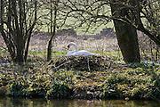 Female mute swan on nest, Donnington, Gloucestershire, The Cotswolds, England, United Kingdom
