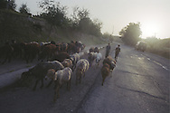 Two young shepherd boys take their herd of goats home at the end of the day, along a country road , near Hissar, Tajikistan