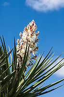 White colored flowers of the Torrey Yucca (Yucca torreyi).  Texas Hill Country, Texas.