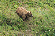 A Brown bear cow protects her spring cubs at the McNeil River State Game Sanctuary on the Kenai Peninsula, Alaska. The remote site is accessed only with a special permit and is the world's largest seasonal population of brown bears in their natural environment.