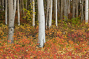 Alaska fall colors may not have red leaves to mix with the orange  yellow and green, but in the fall, the most magnificent scenics are intensified into beautiful sights.  The low shrubs, berry bushes, and grasses turn golden with the birch and aspen leaves.  The dark green spruce trees accent the gold.  Fireweed turns fuchsia and together they will rival the leaf-peeping possibilities of the eastern states.