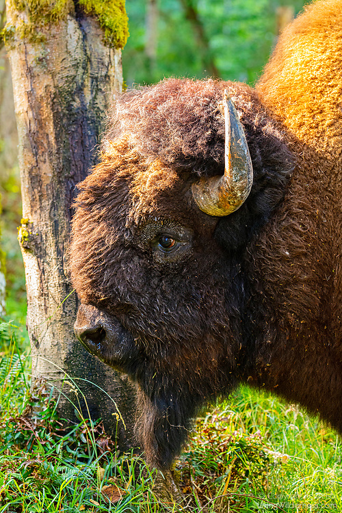 A male American bison (Bison bison), otherwise known as an American buffalo, stands in a free-range forested area of Northwest Trek, an accredited wildlife park near Eatonville, Washington.