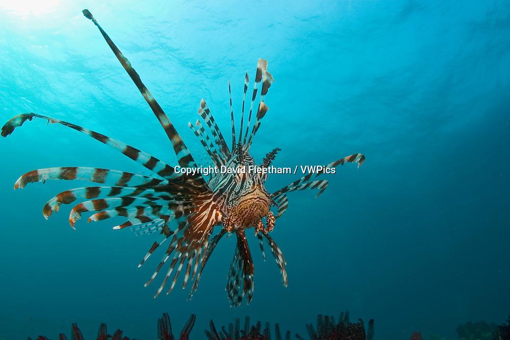 Lionfish, Pterois volitans, Indonesia.