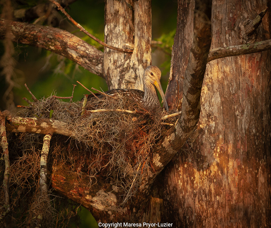Limpkin on nest in cypress tree, Aramus guarauna<br /> Withlacoochee River, Florida<br /> wild
