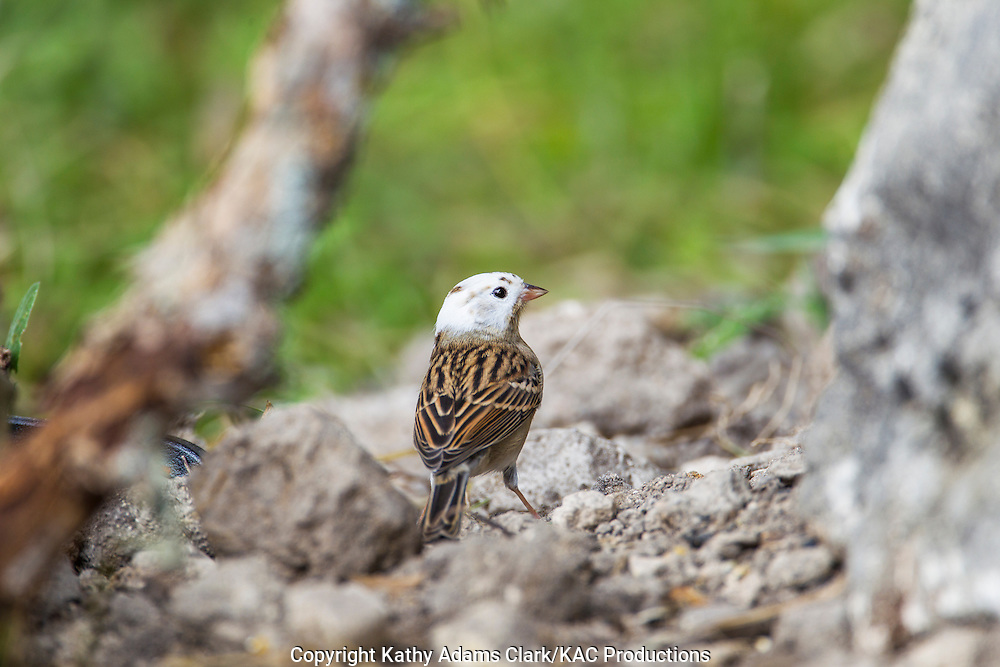 Chipping sparrow with unusual white feathers, leucistic at Block Creek Natural Area in the Texas Hill Country near Comfort, Texas