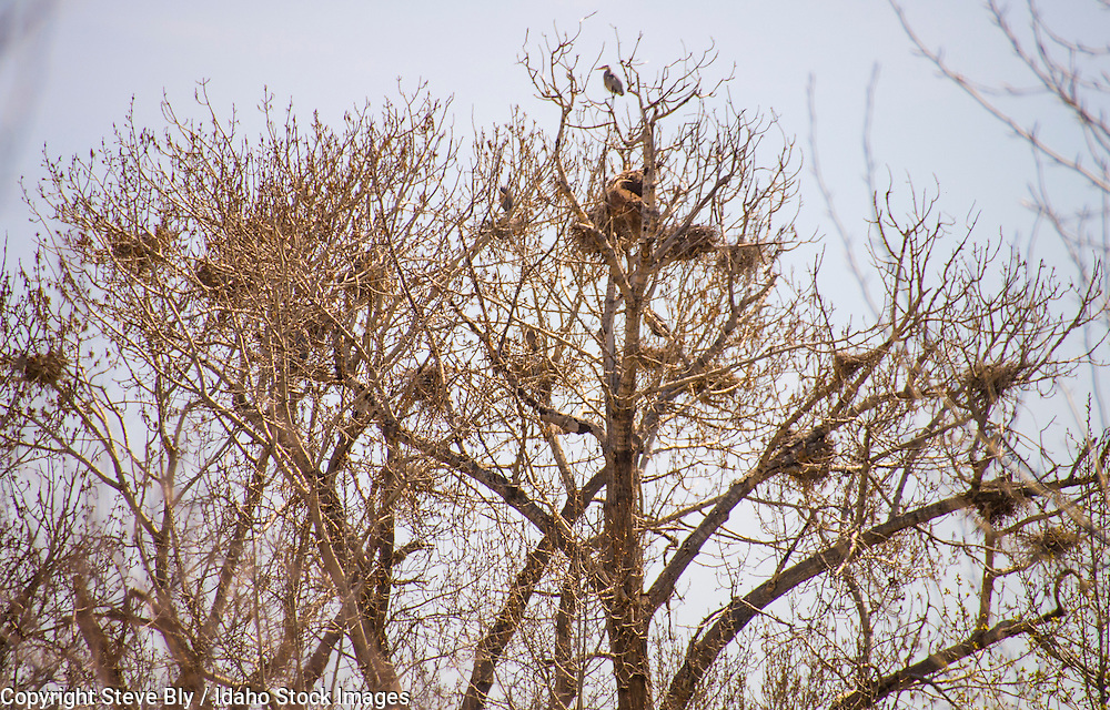 Heron rookery nesting in cottonwood trees alnog the Boise river, Bose, Idaho