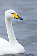 Whooper Swan, Cygnus cygnus, close up profile at Welney Wetland Centre, Norfolk, UK