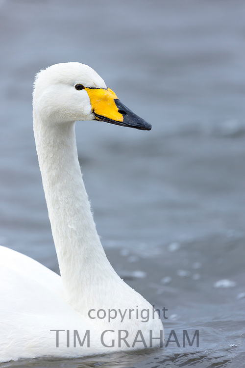 Whooper Swan, Cygnus cygnus, close up profile at Welney Wetland Centre, Norfolk, UK