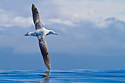 The Wandering Albatross has the largest wingspan of any living bird, at up to 11.5 feet, allowing it to glide for hours without having to beat its wings.  New Zealand.