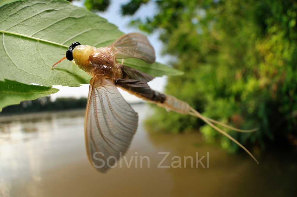 Immediately after landing in the vegetation of the river bank the male long-tailed mayfly (Palingenia longicauda) starts to undergoes its last moult. The old skin opens at the back of the animal and will be left behind on the leaf looking like a pale ghost of the fly. Tisza blooming (Tiszavirágzás). It is when millions of long-tailed mayflies (Palingenia longicauda) are rising in huge clouds, reproduce, and perish, all in just a few hours.