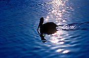 Pelican silhouetted, Galapagos Islands