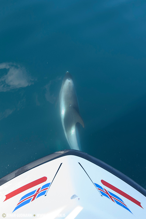 Dolphin in Iceland.