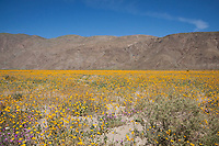 2017 Wildflower Superbloom at Henderson Canyon, Anza Borrego Desert State Park, California