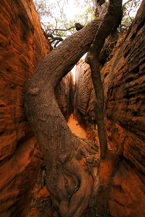 An interesting tree growing out of a narrow canyon in Snow Canyon State Park in Utah, USA.