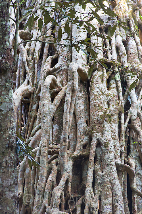 Detail of hanging roots on the Curtain Fig Tree, a giant strangler fig (Ficus virens)on the Atherton Tablelands, Queensland, Australia