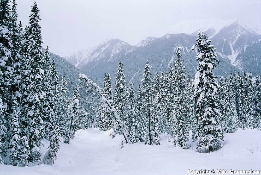 Coniferous forest and snowfall<br /> Kootenay National Park<br /> British Columbia<br /> Canada