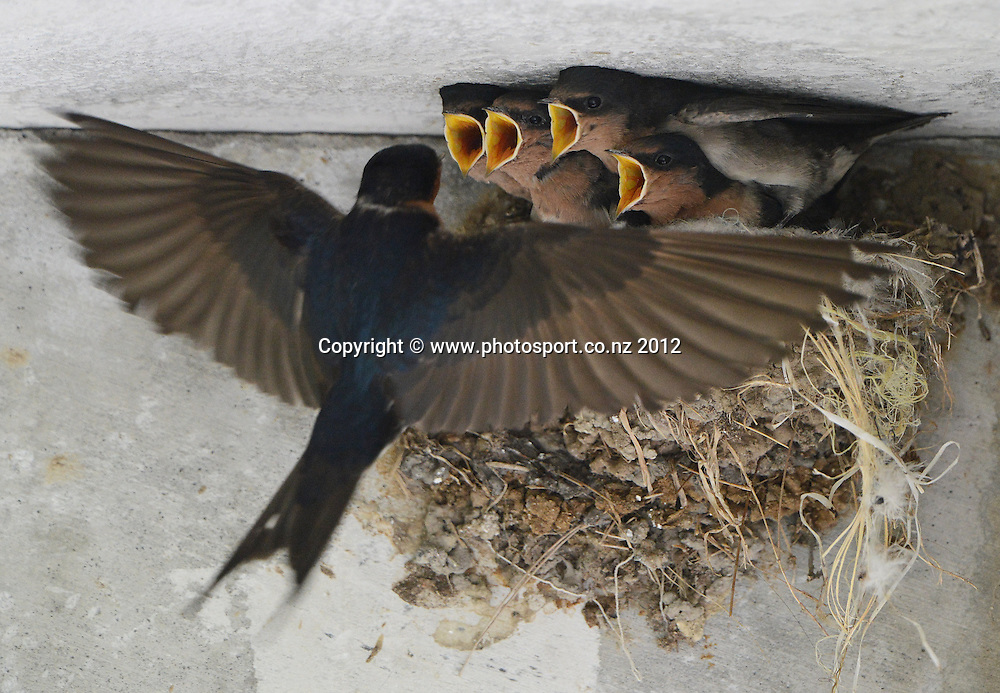 A family of Swallows waits for lunch under the stands at the Eden Park Outer Oval. Plunket Shield Cricket, Auckland Aces v Wellington Firebirds at Eden Park Outer Oval. Auckland on Monday 26 November 2012. Photo: Andrew Cornaga/Photosport.co.nz
