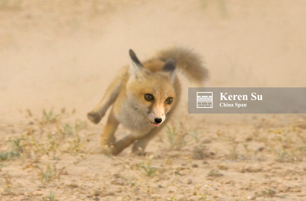 Fennec Fox (Vulpes zerda) in the Sahara Desert, Tunisia