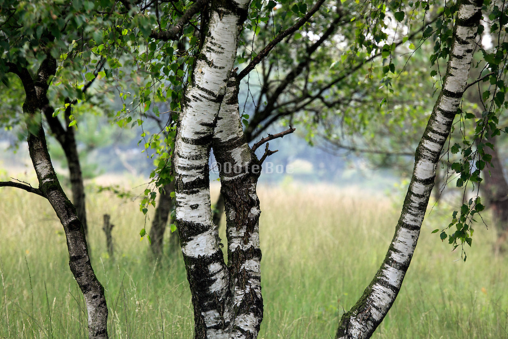 young silver birch trees with heathland grasses
