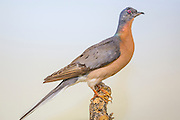 Passenger pigeon, Ectopistes migratorius, mounted specimen, Houston Museum of Natural Sciences collection.  Photographed with permission.
