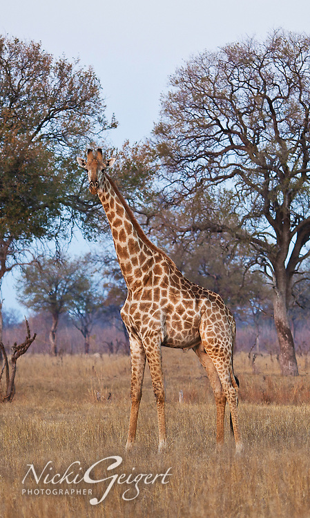 Animals, giraffe.<br />