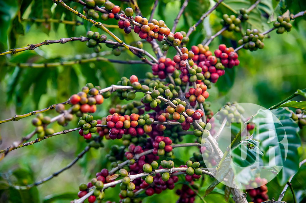 """Pé de café (Coffea sp.) fotografado em Conceição da Barra, Espírito Santo -  Sudeste do Brasil. Bioma Mata Atlântica. Registro feito em 2011.<br /> <br /> <br /> <br /> ENGLISH: Coffee plant photographed in Conceicao da Barra, Espírito Santo - Southeast of Brazil. Atlantic Forest Biome. Picture made in 2011."""