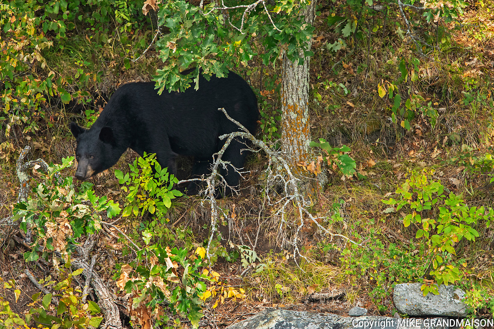 The American black bear (Ursus americanus) in the boreal forest<br />
