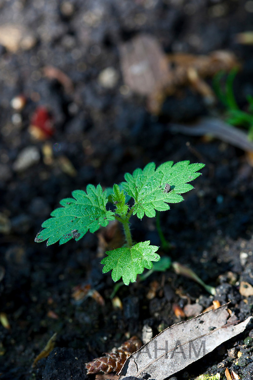 Young nettle plant shoot  as a new weed in a garden in Swinbrook, Oxfordshire, England, UK
