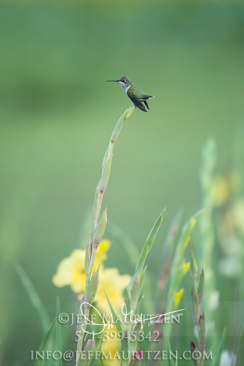 A female Ruby-throated hummingbird perches on a Gladiolus flower.