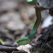 Male Pope's pit viper, Trimeresurus popeorum popeorum, in Kaeng Krachan National Park, Thailand.